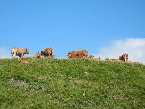 mucche-al-pascolo-parco-dell'antola