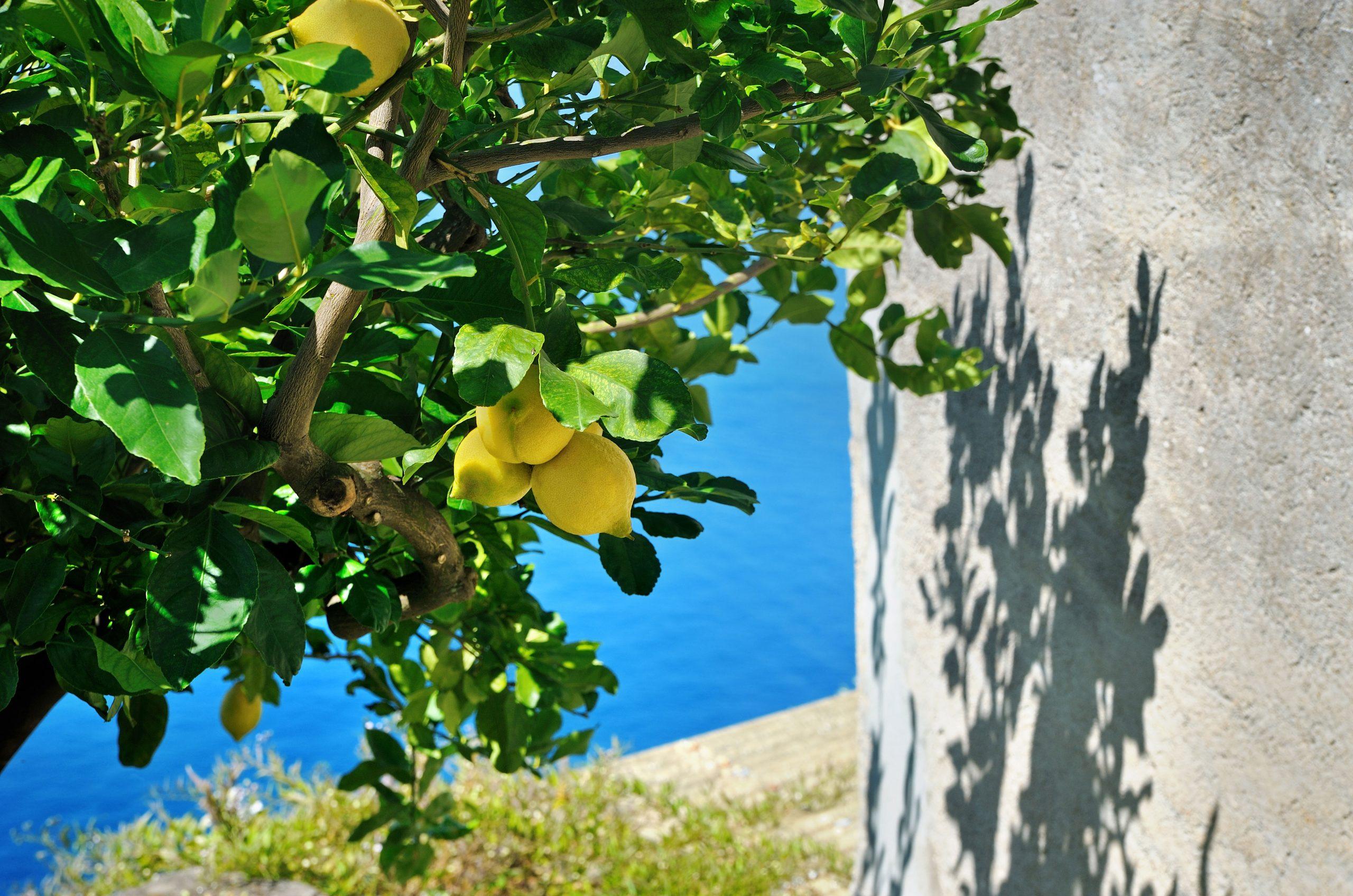 Primavera-in-Liguria-Albero-di-Limoni